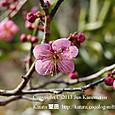 142 2013.03.11up tree・flower/木・花 046 紅梅の花が咲きました